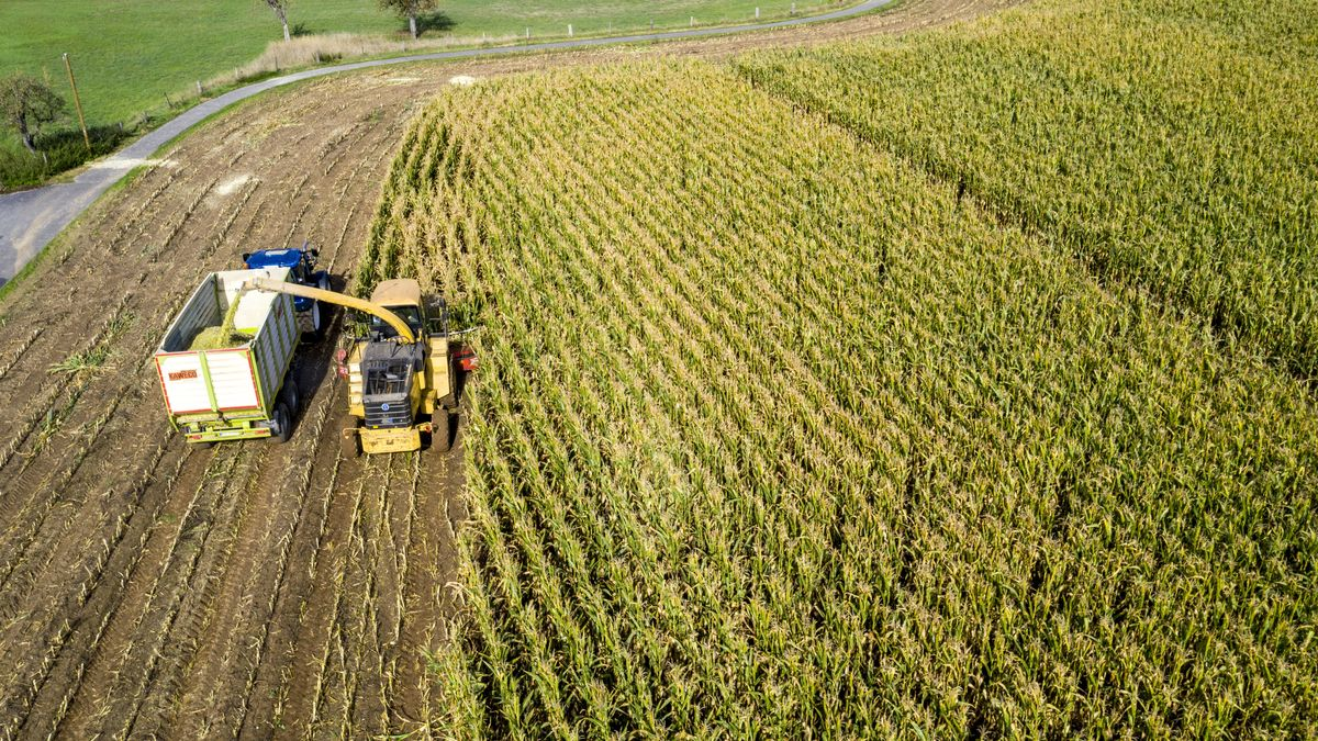 Maisernte: Ein Mähdrescher arbeitet sich durch ein Maisfeld, die Silage wird direkt in einen Hänger gepumpt,