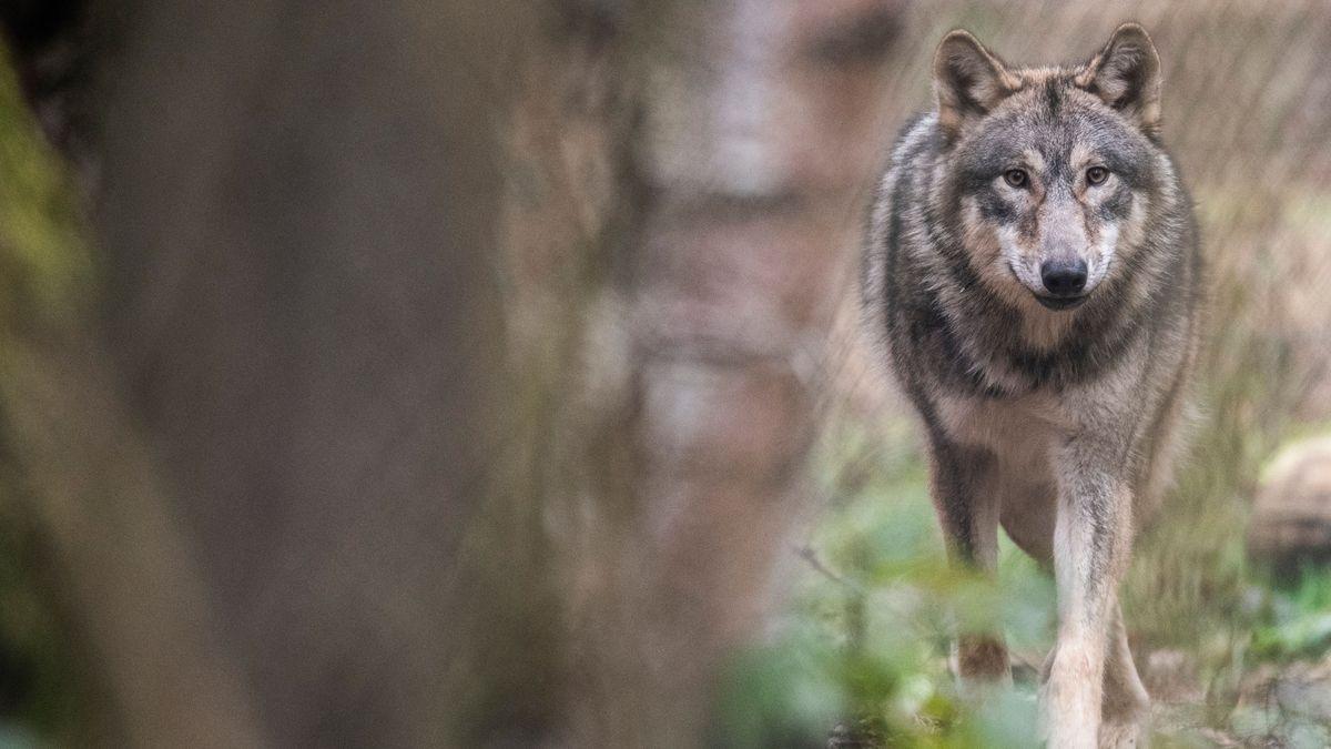 Wolf läuft durch einen Wald (Symbolbild)
