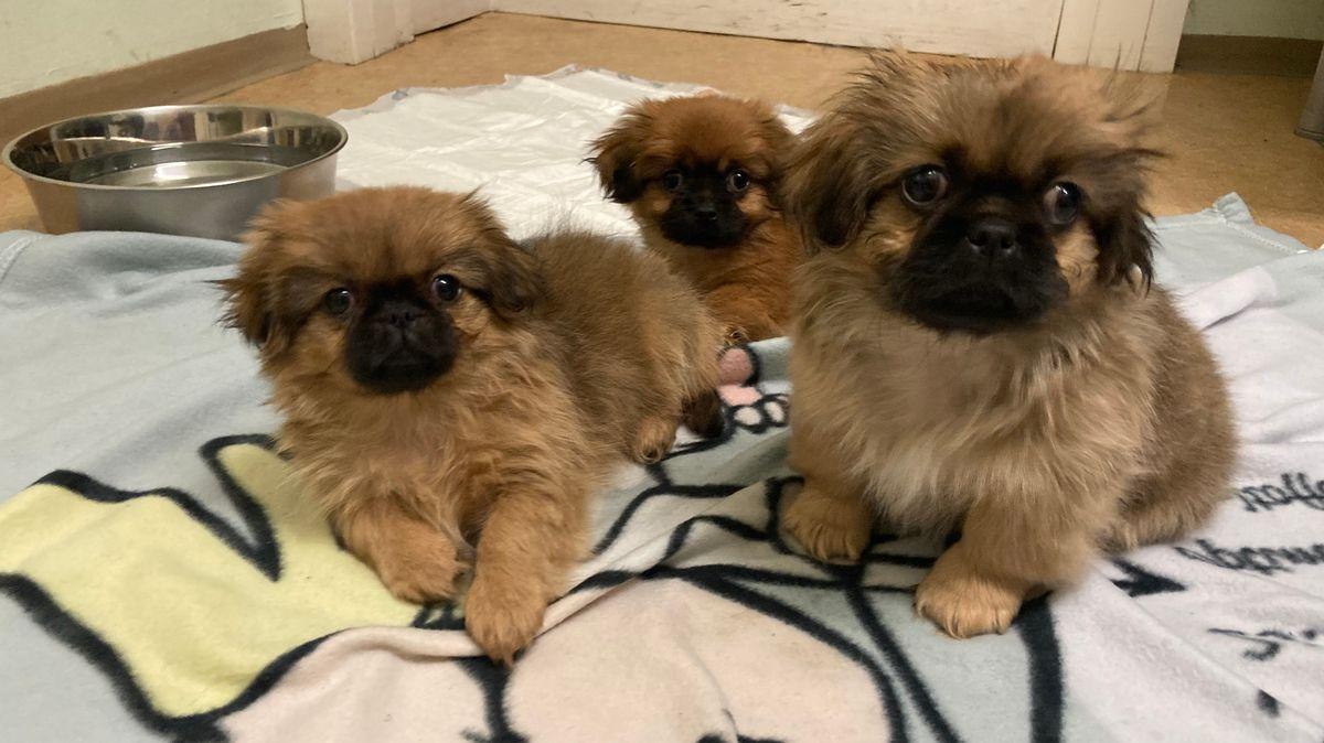 Drei kleine Pekinesen wurden vor illegalen Tierhändlern gerettet