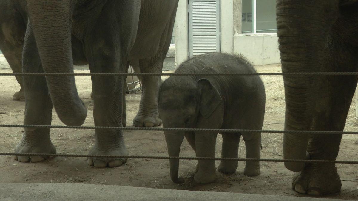 """Seit vier Monaten sind Zoos und Tiergärten geschlossen, jetzt geht's bald endlich wieder los. Gut so, denn es gibt ja auch einiges Neue zu sehen - im Tierpark Hellabrunn etwa den kleinen Elefantenbullen """"Otto"""" ..."""