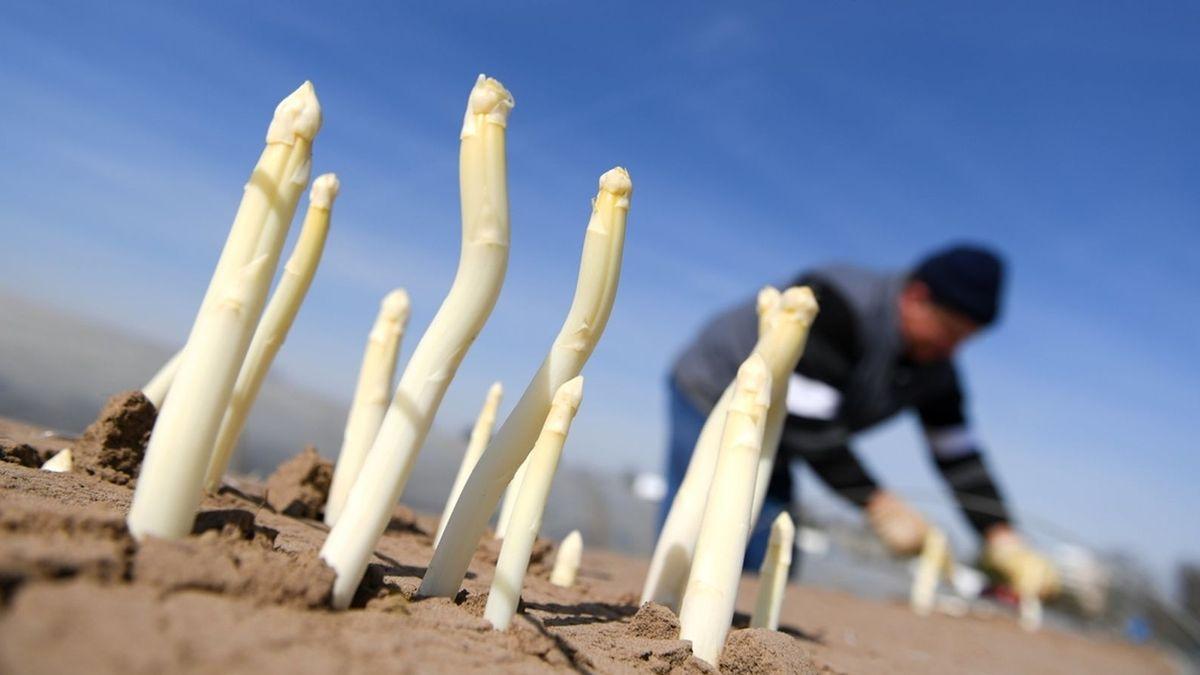 Symbolbild: Erntehelfer beim Spargel stechen