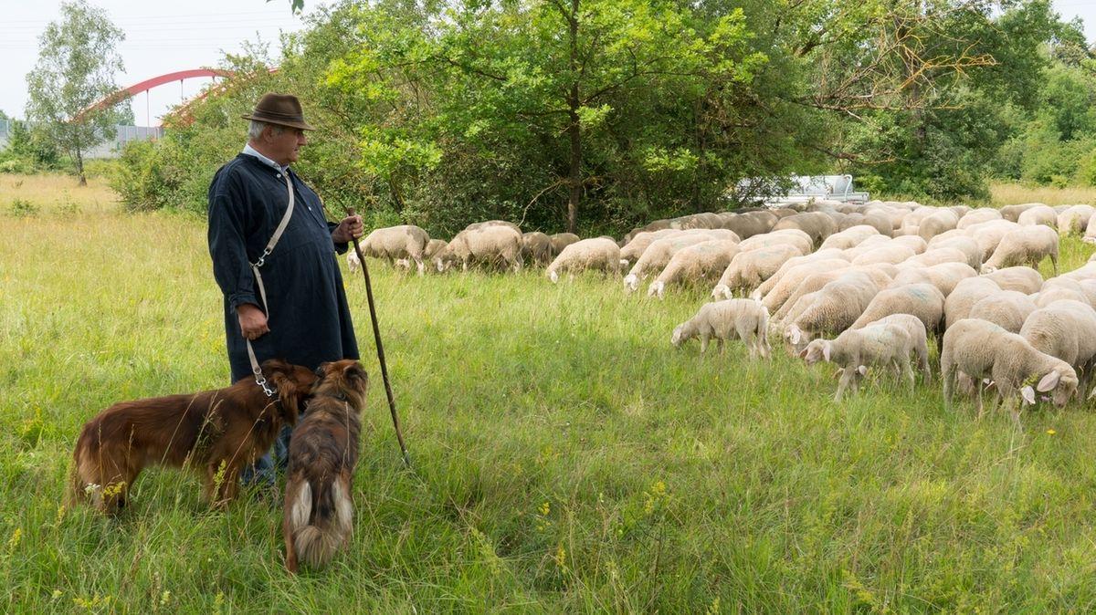 Wanderschäfer Josef Hartl mit seinen Schafen auf der Augsburger Lechheide. Im Hintergrund ist die A8 zu erkennen.