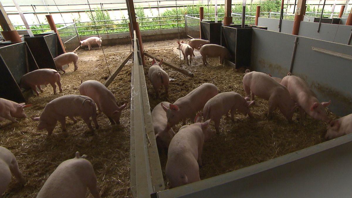 Bis zu 1.000 Mastschweine auf dem Hof von Roland Nass wachsen jetzt in vier Gebäuden heran, die nach Süden hin offen sind.