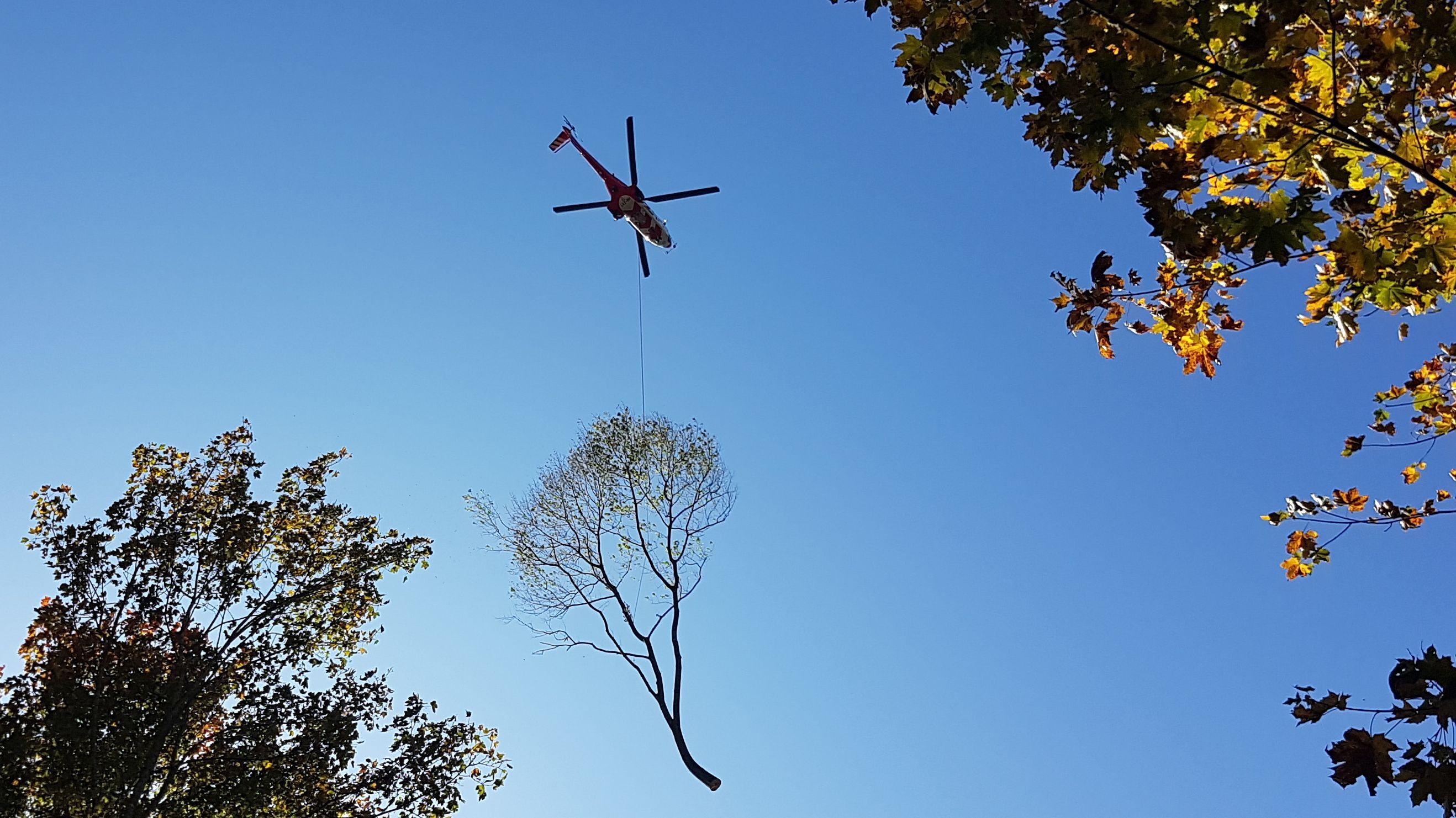 Eine gefällte Esche in Ismaning wird vom Hubschrauber abtransportiert.