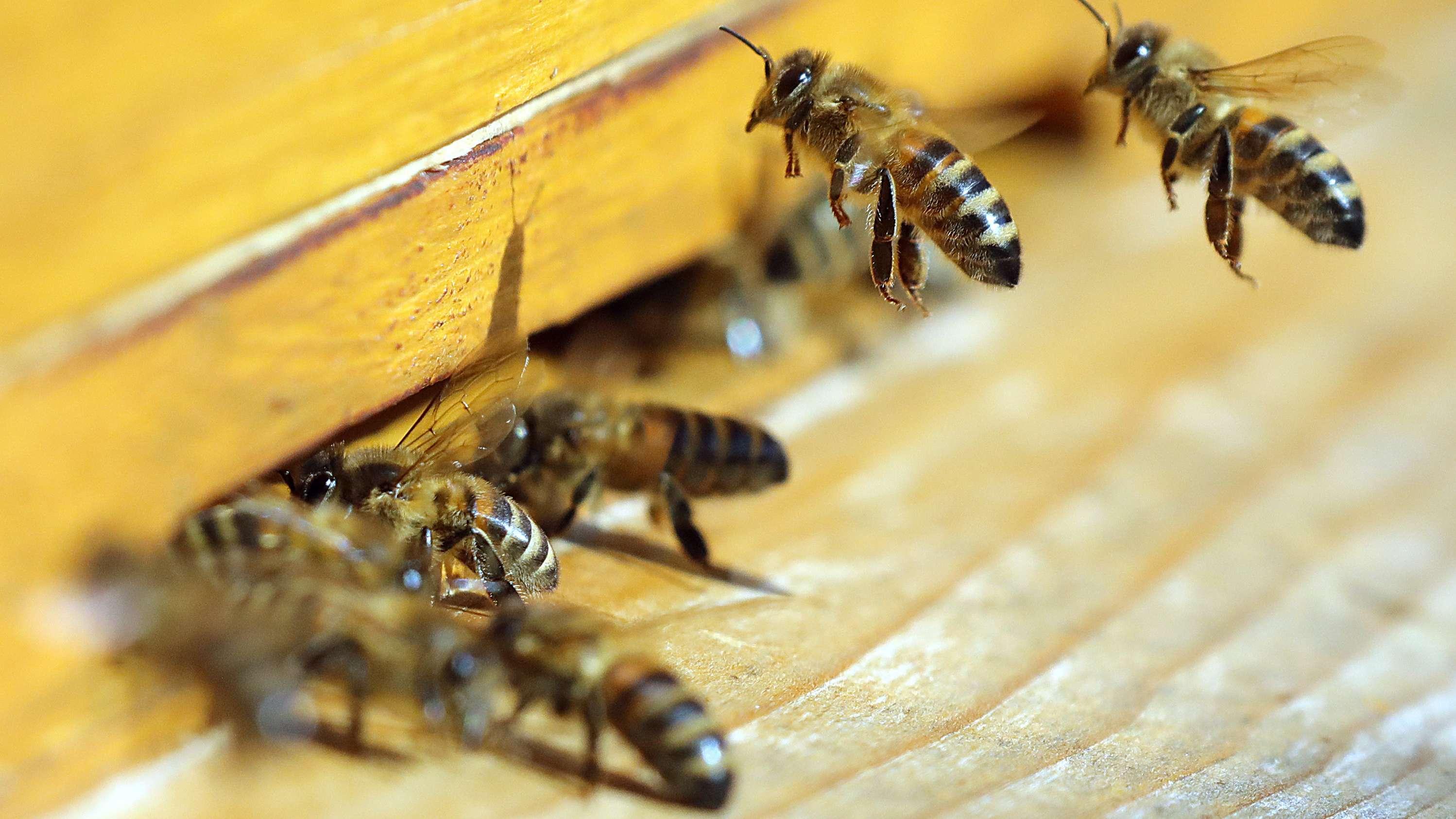 Bienen fliegen einen Bienenstock an (Symbolbild)