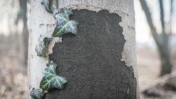 Rußrindenkrankheit breitet sich aus | Bild:dpa Picture-Alliance Frank Rumpenhorst