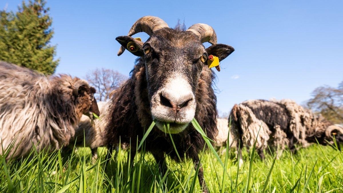 Schafe liegen auf einer Wiese.