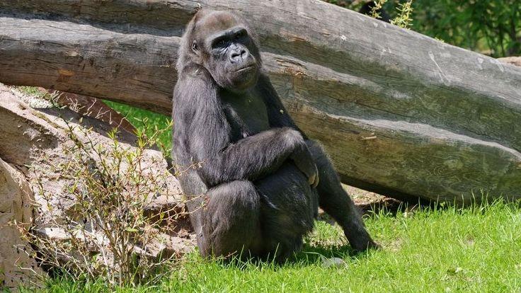 Gorilla Lena im Tiergarten Nürnberg