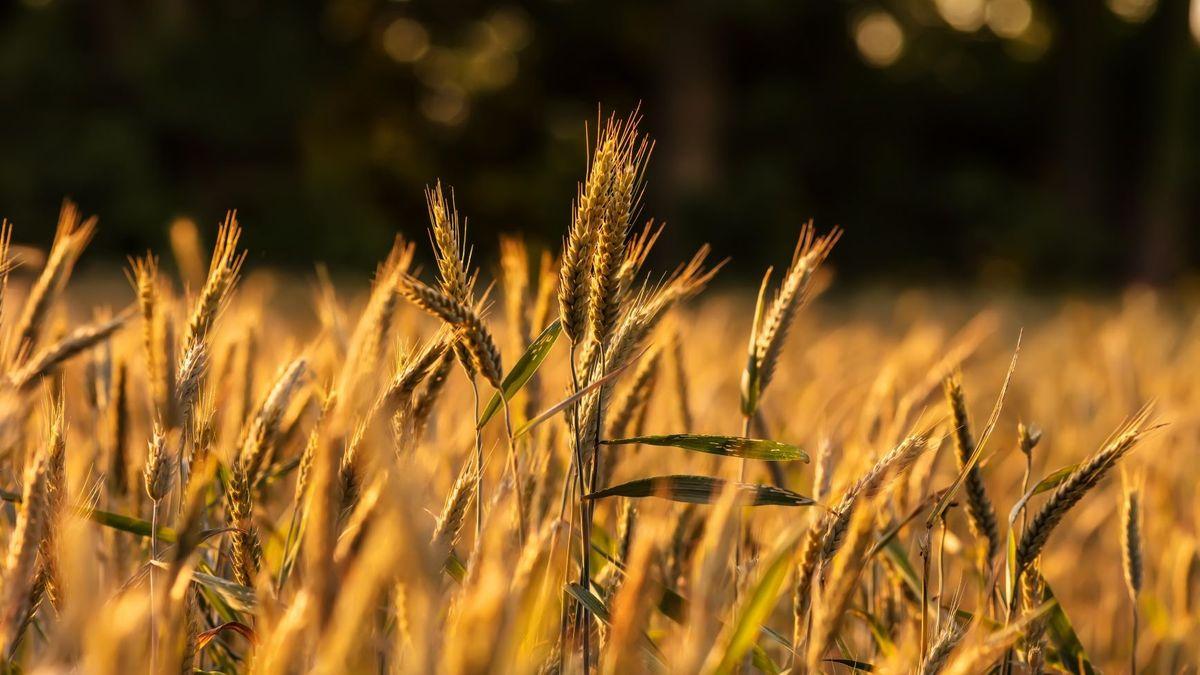 Dinkel leuchtet golden auf einem Feld.