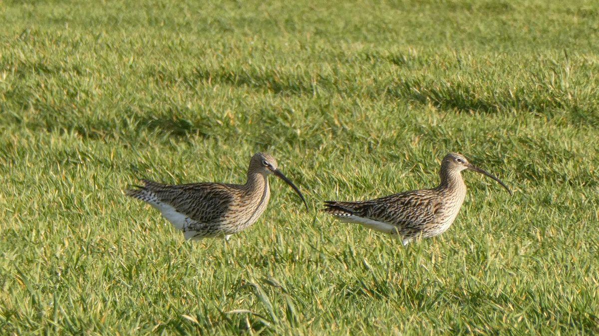 Zwei Große Brachvögel