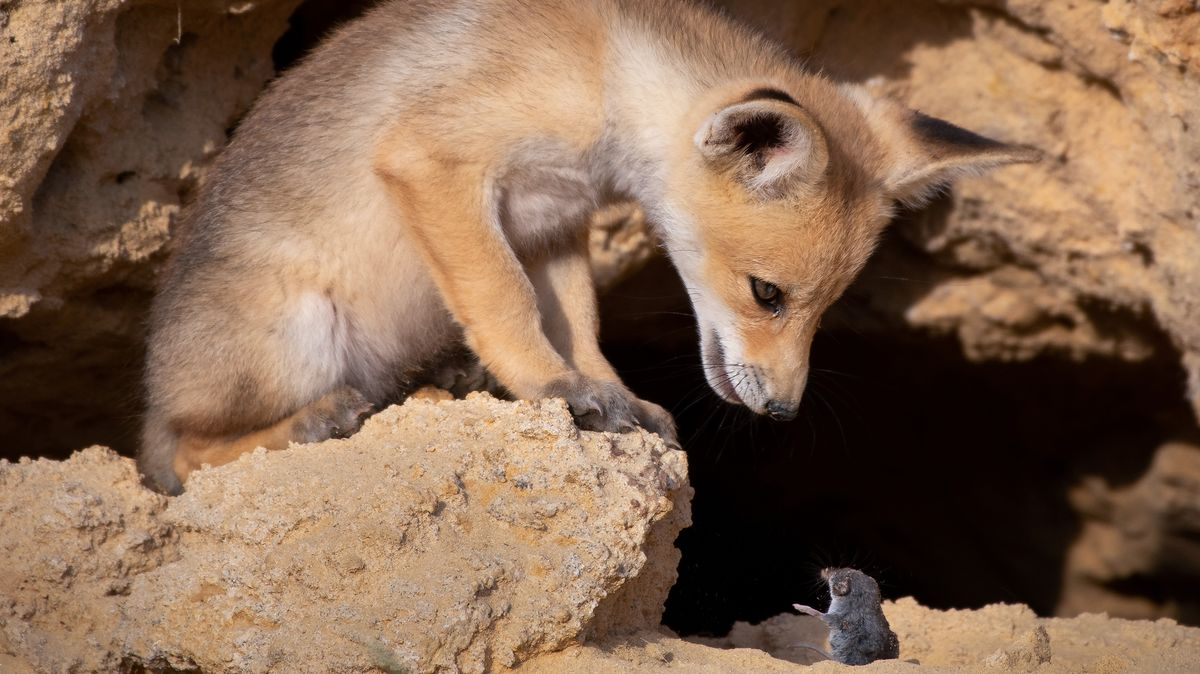 Fuchs gegen Nagetier in Israel