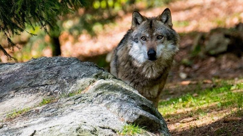 Wolf / Faszination Wissen