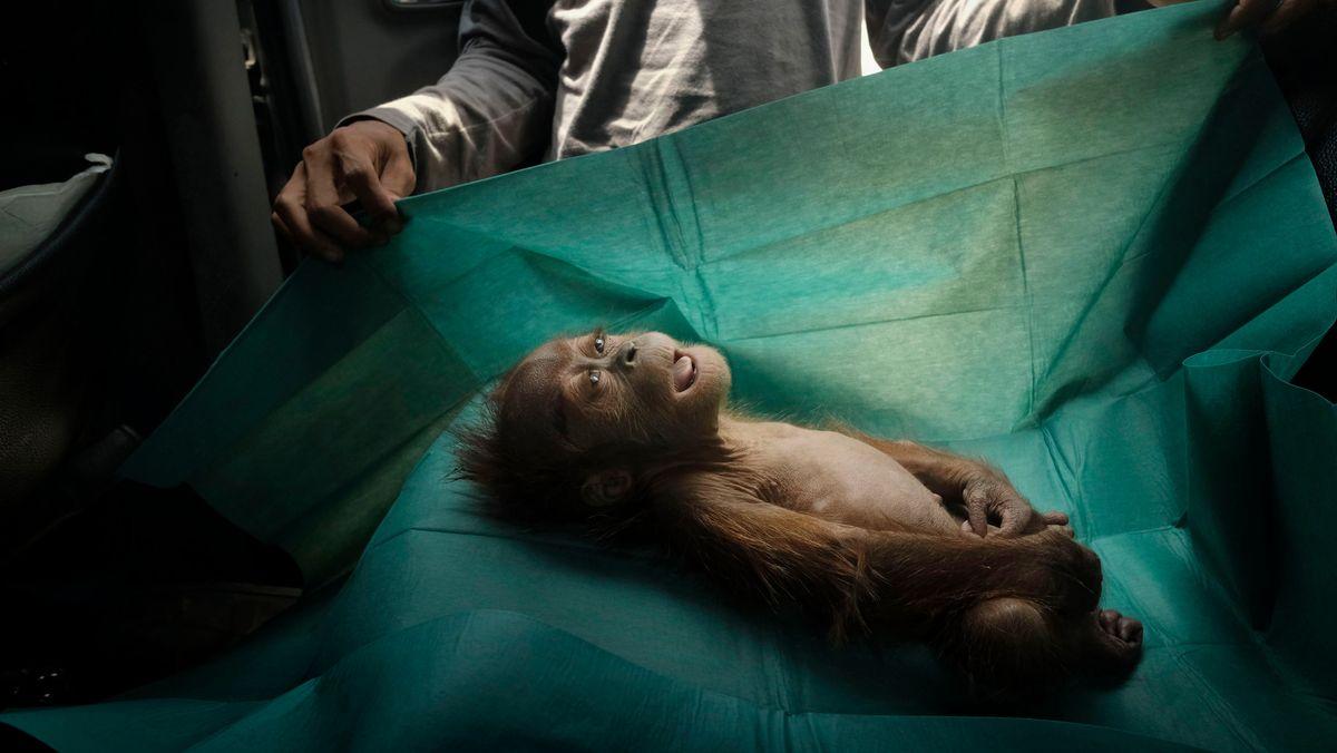 Orang Utans leiden unter der Zerstörung ihres Lebensraums, des Regenwaldes, durch die zunehmende Ausdehung von Minen und Palmölplantagen