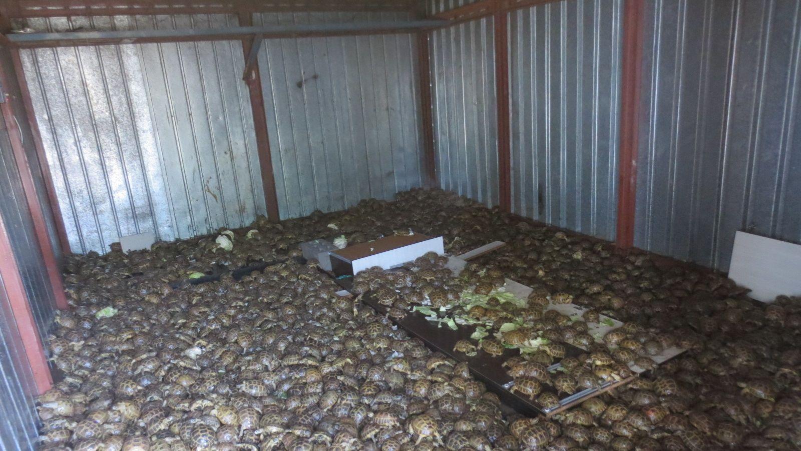Behörden haben mehr als 4.000 lebende Landschildkröten sichergestellt. Die Tiere seien in 24 Säcken unter frischem Kohl transportiert worden.