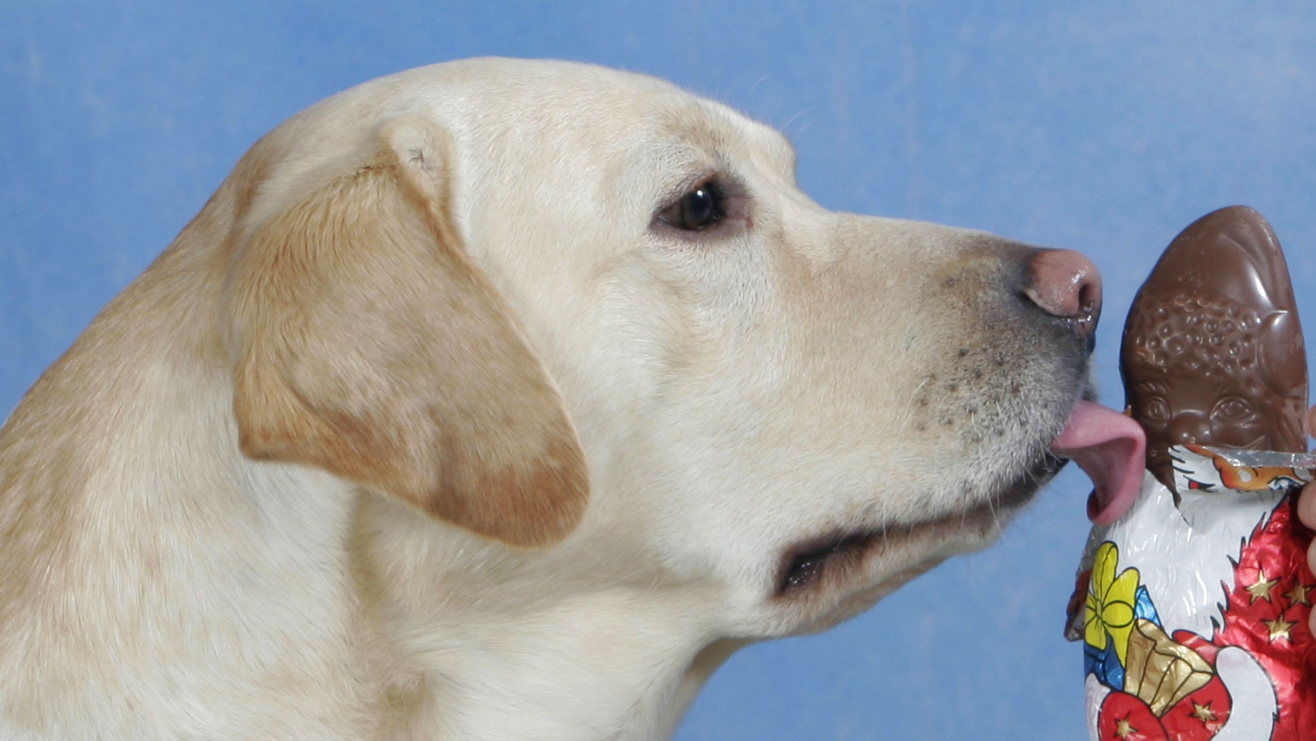 Hund leckt an Schokoweihnachtsmann