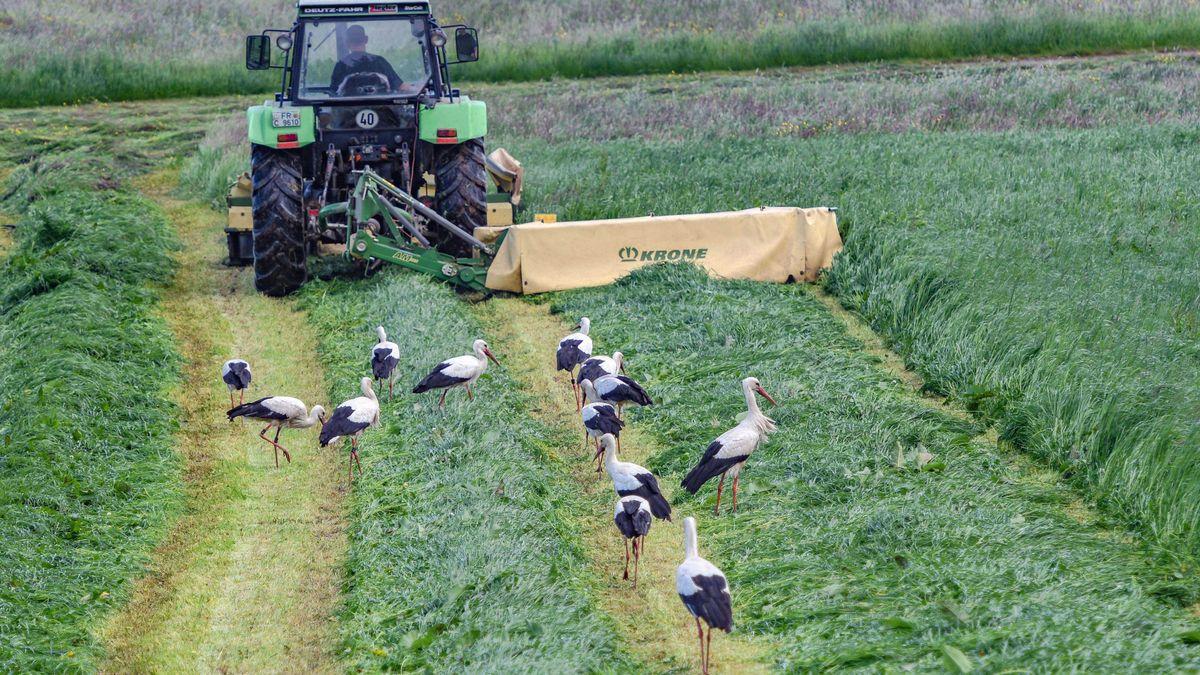 Störche folgen einem Traktor und stöbern im frisch gemähten Gras nach Nahrung. Der Duft der frisch gemähten Wiese hat sie angelockt.