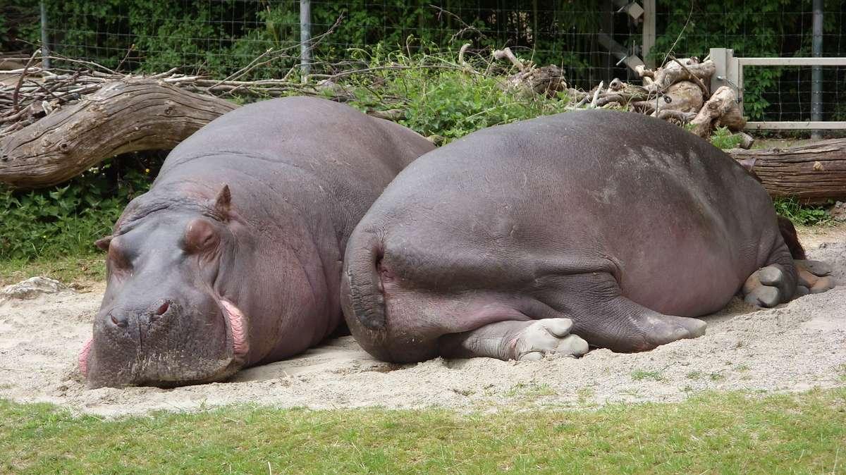 Flusspferde liegen gern auf der Seite - aber auch die Brustlage macht ihnen nichts aus.