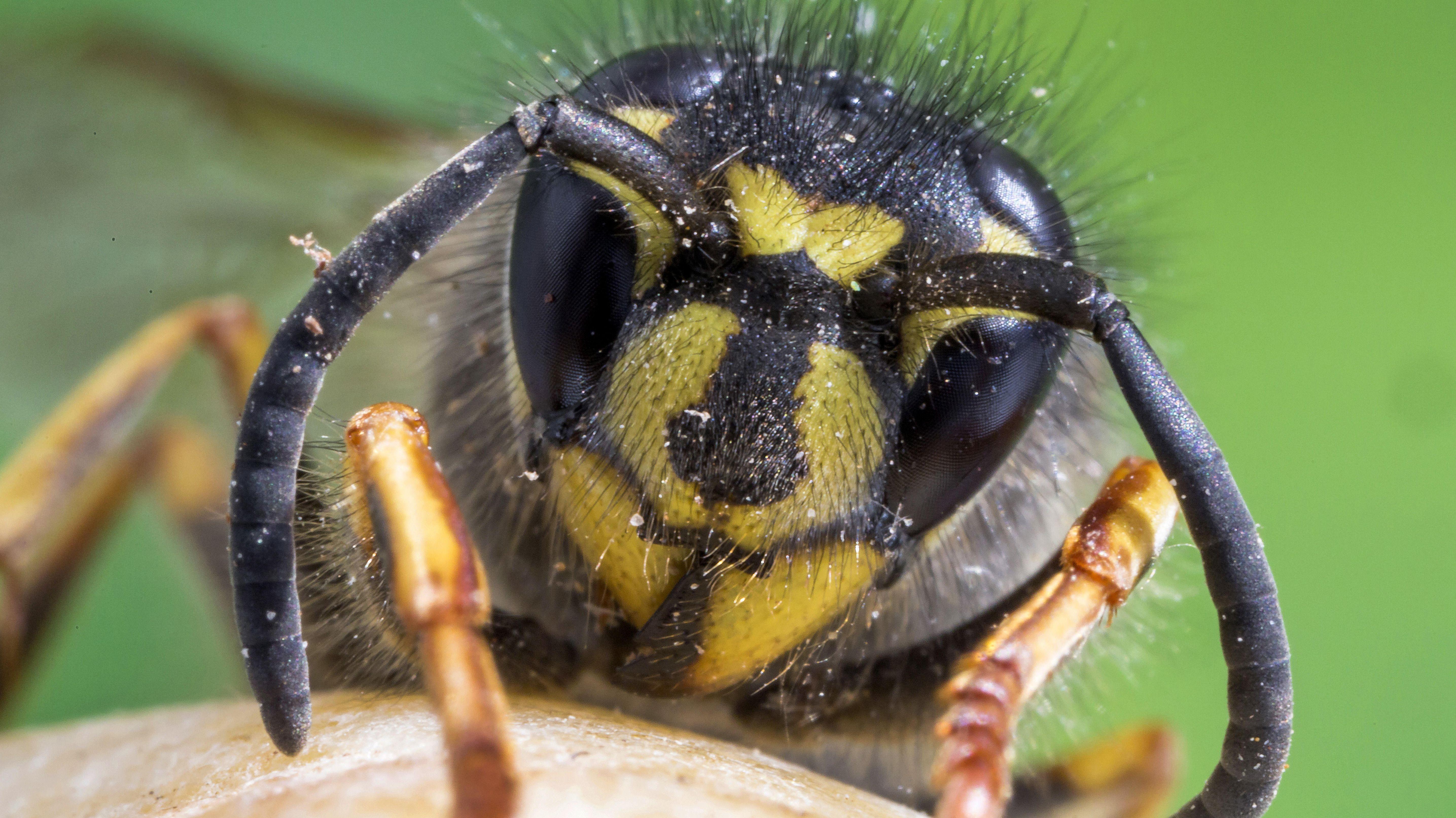 Vorderansicht einer gewöhnlichen Wespe (Vespula vulgaris).