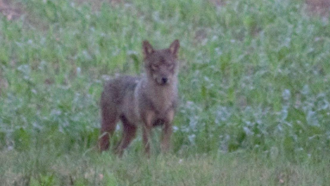 Der mutmaßliche Wolf, fotografiert von Peter Zocher