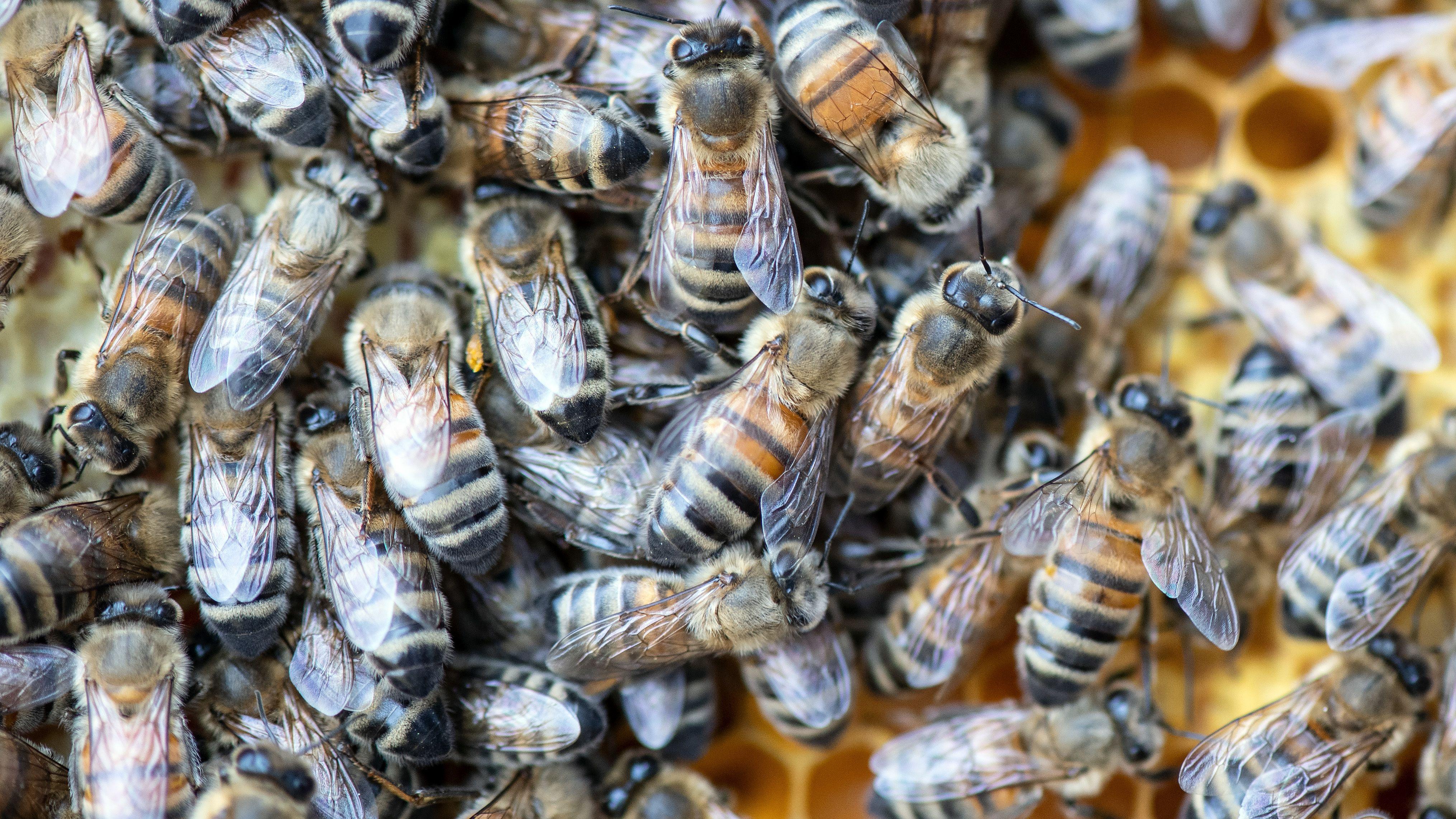 Ein Bienenvolk attackiert Anwohner in Gonnersdorf