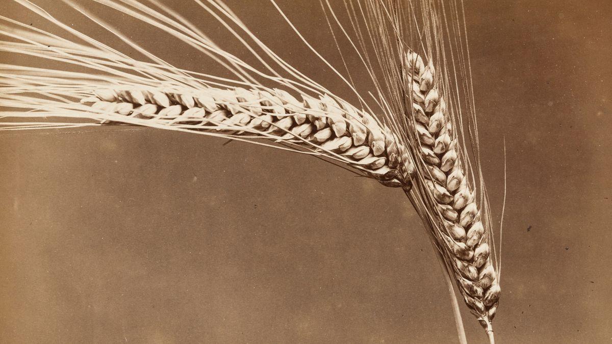 Nahaufnahme einer Weizenähre vor braunem Hintergrund (historische Fotografie)