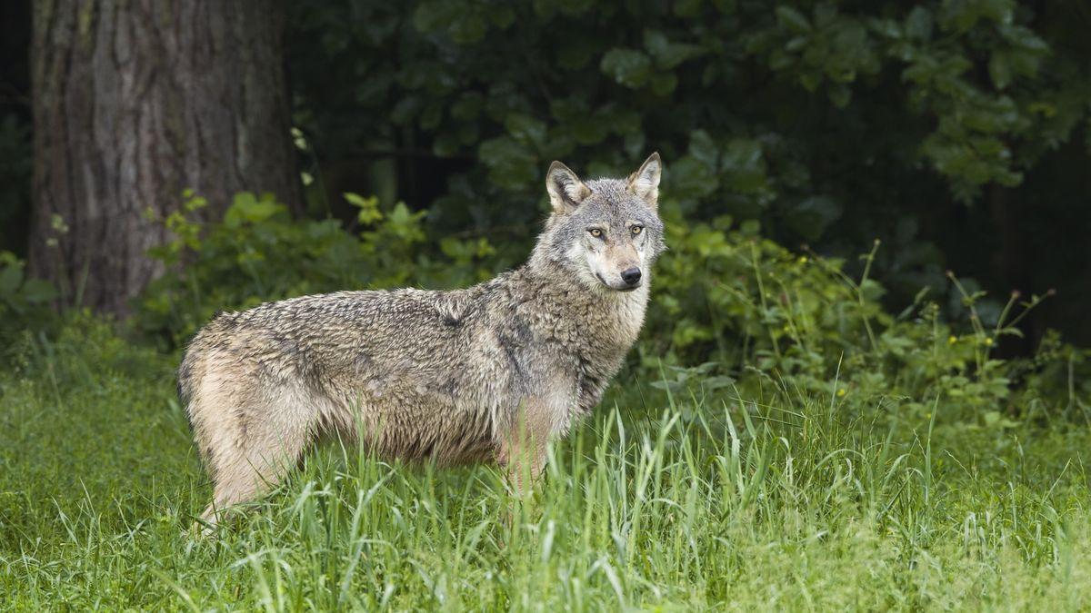 Ein Wolf steht auf einer Lichtung