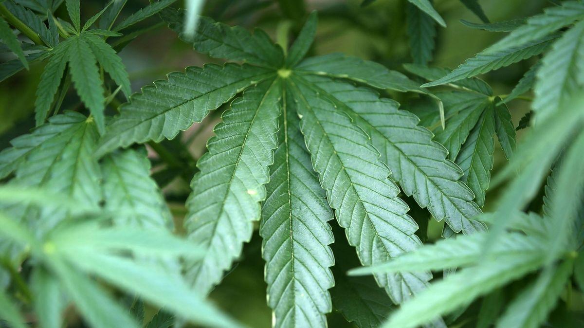 Hanfpflanzen - wie viel CBH darf in legalen Hanfprodukten enthalten sein?
