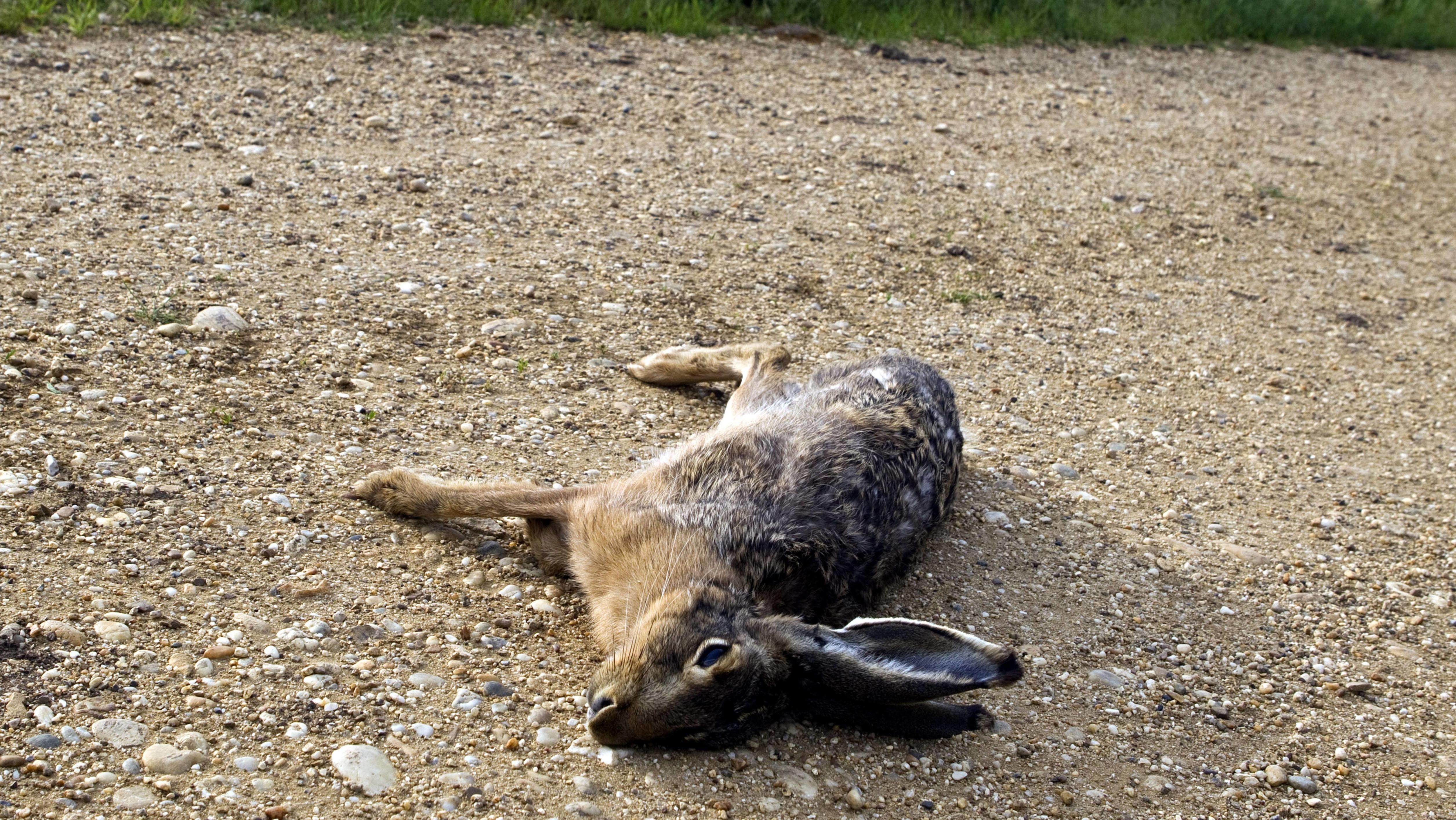 Ein toter Feldhase liegt auf einem Kiesweg (Symbolbild