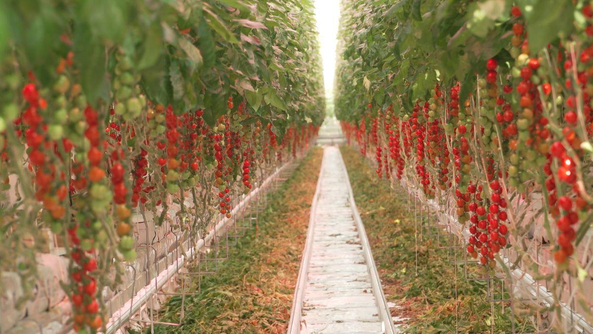 Tomatenpflanzen im beleuchteten Gewächshaus
