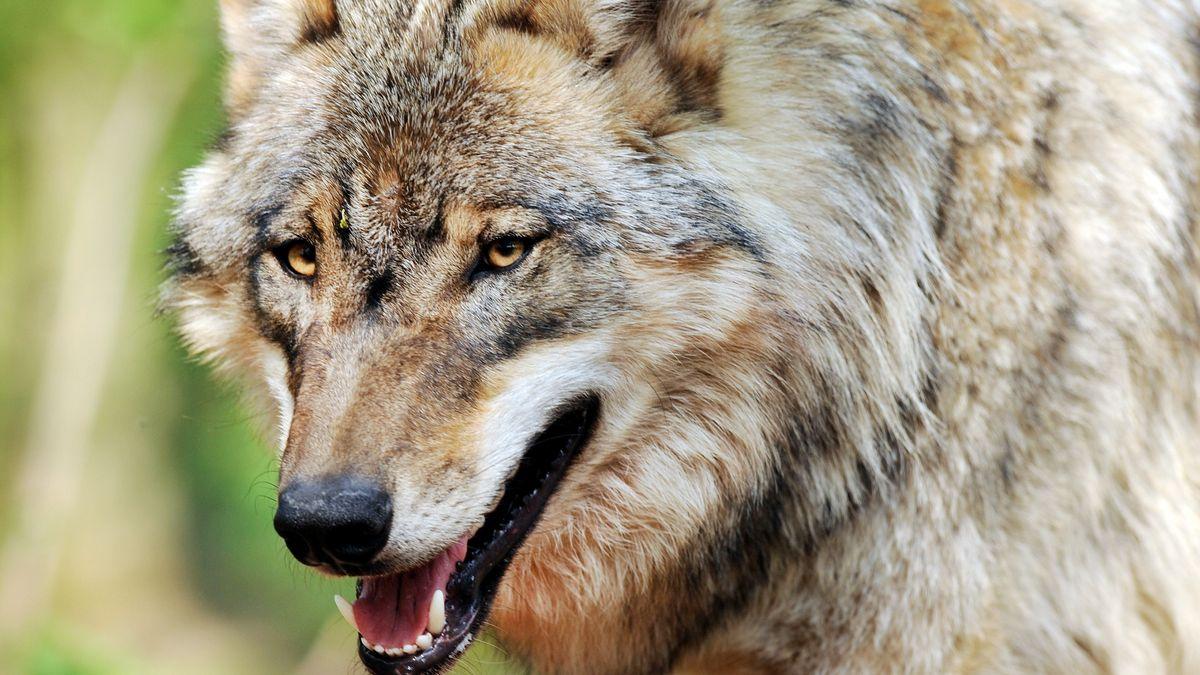Symbolbild: Ein Wolf streift durch sein Gebiet