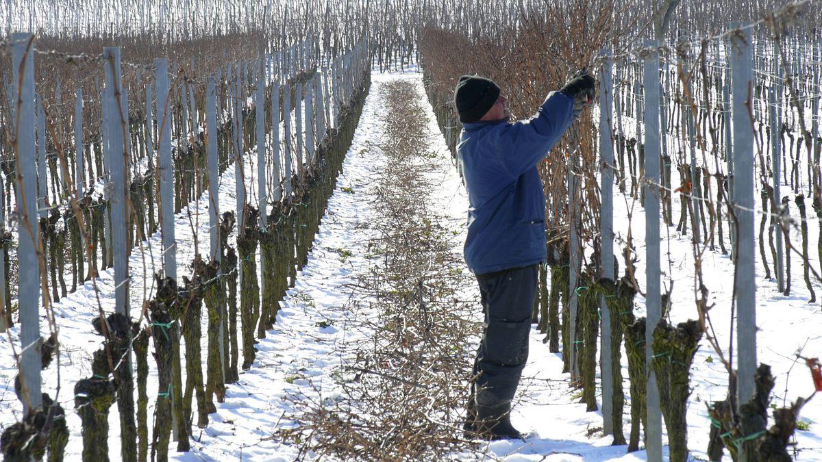 Ein Mann schneidet im Winter Weinstöcke aus (Symbolbild)