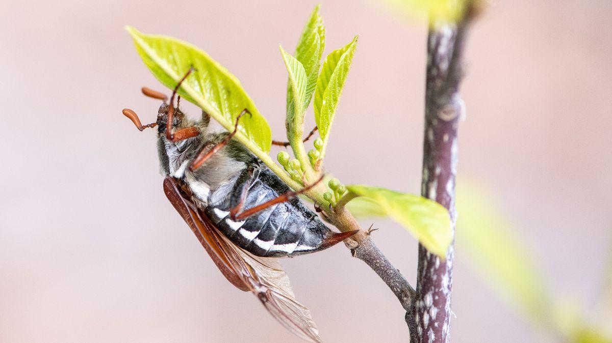 Ein Maikäfer hängt mit halb ausgeklappten Flügeln an einem Blatt eines Laubbaumes.