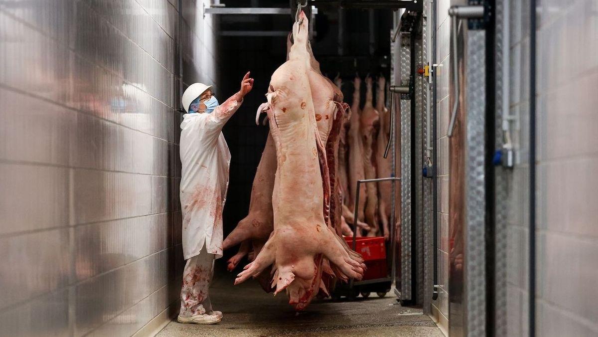 Schweine hängen in einem Schlachthof an einem Haken, daneben steht ein Mitarbeiter.