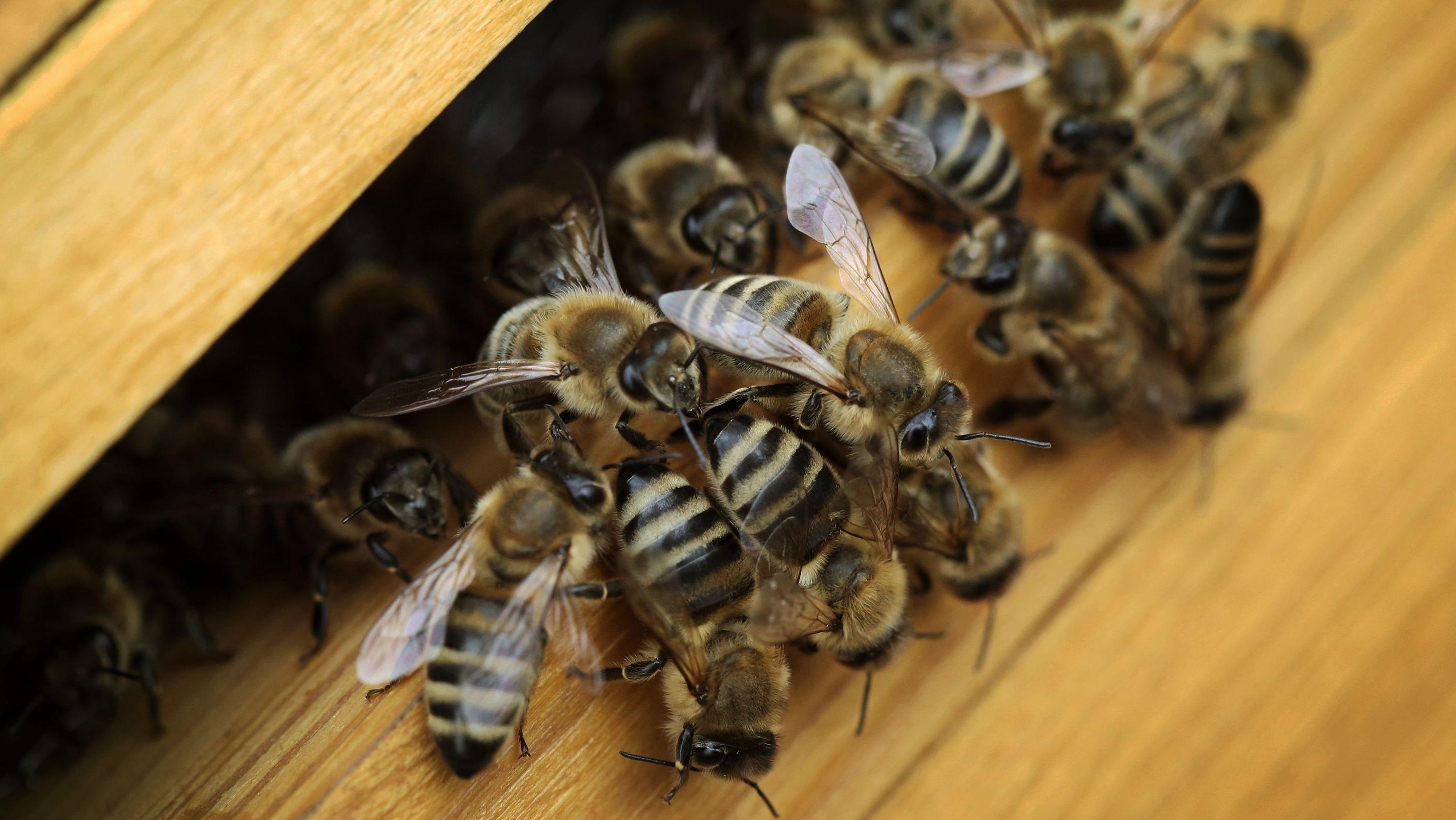 Bienen verlassen einen Bienenstock