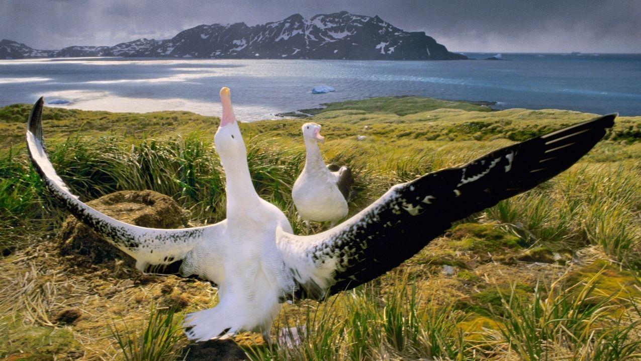 Albatros Balz