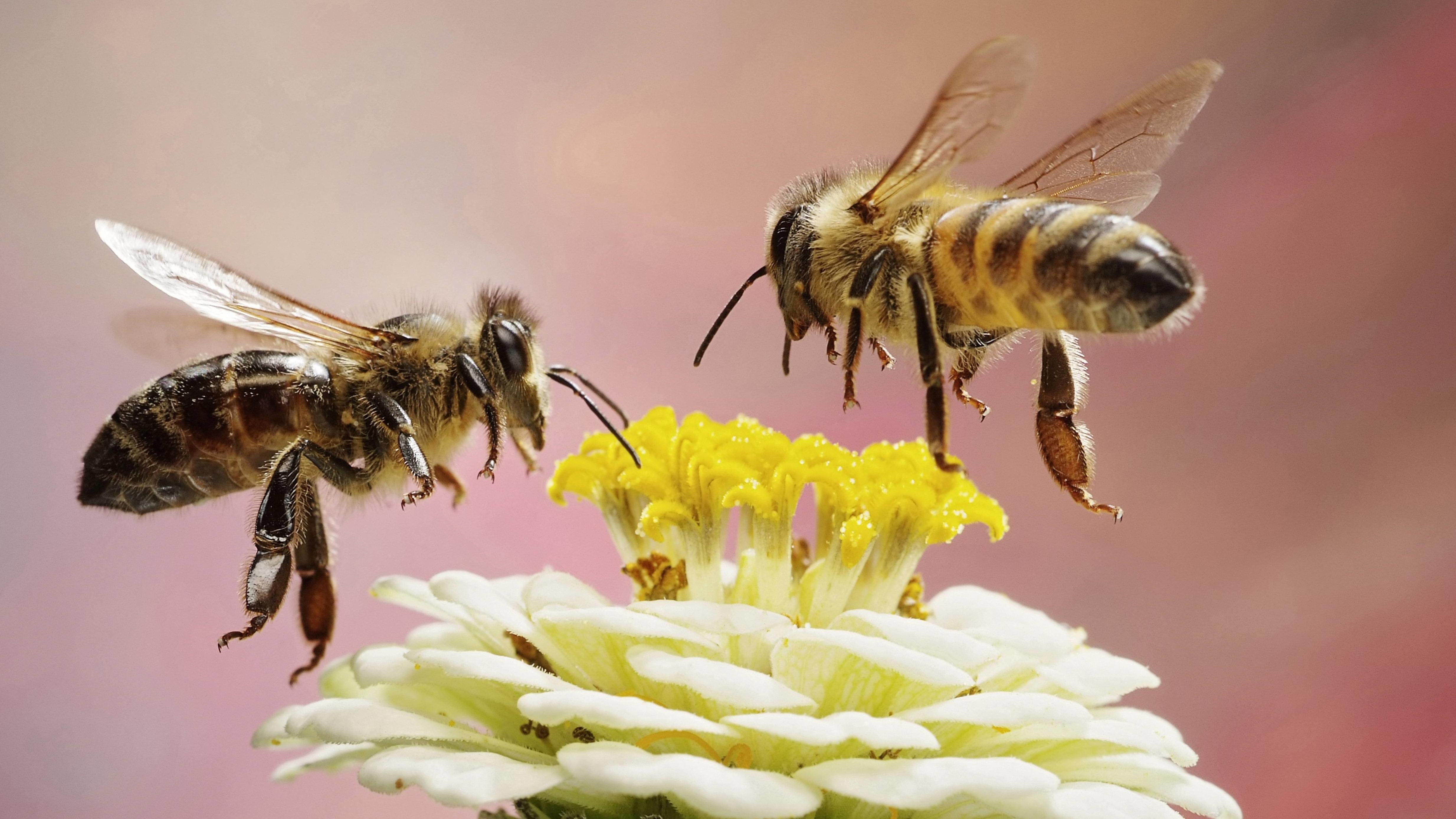 Zwei Bienen an einer Blüte