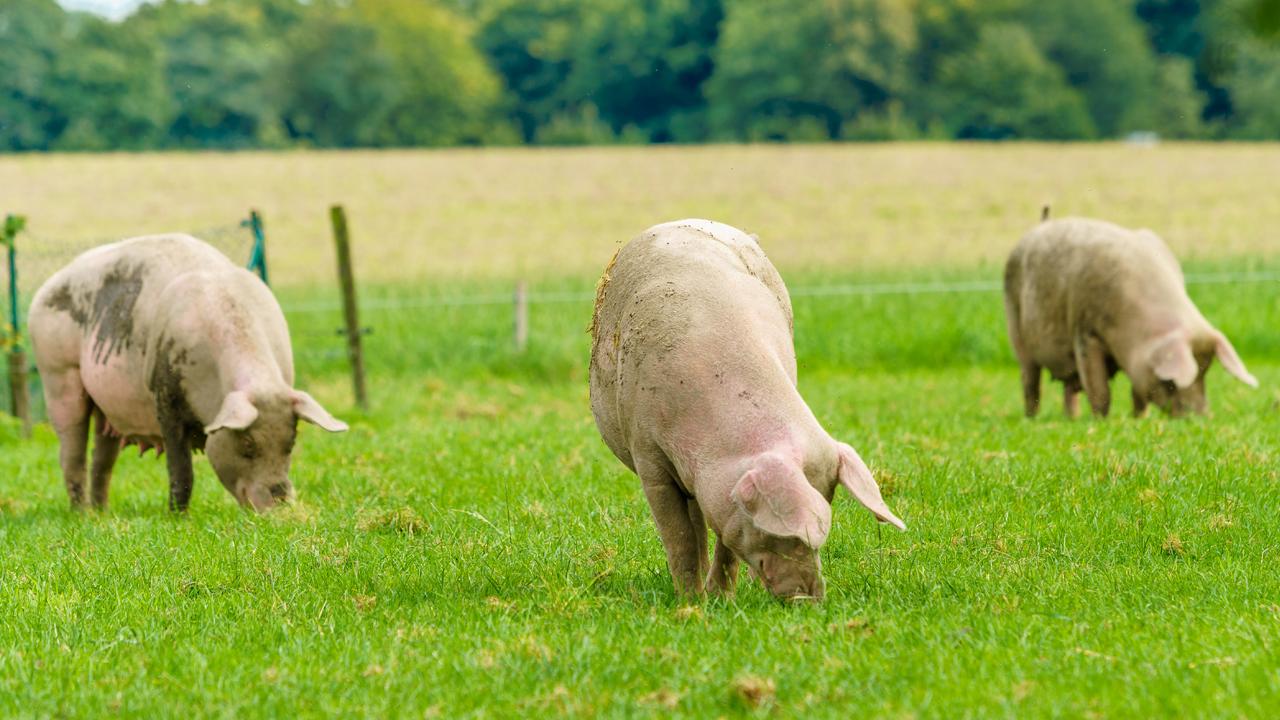 Drei Schweine auf einer Wiese