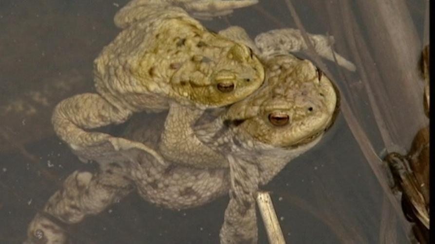 Zwei Kröten im Wasser