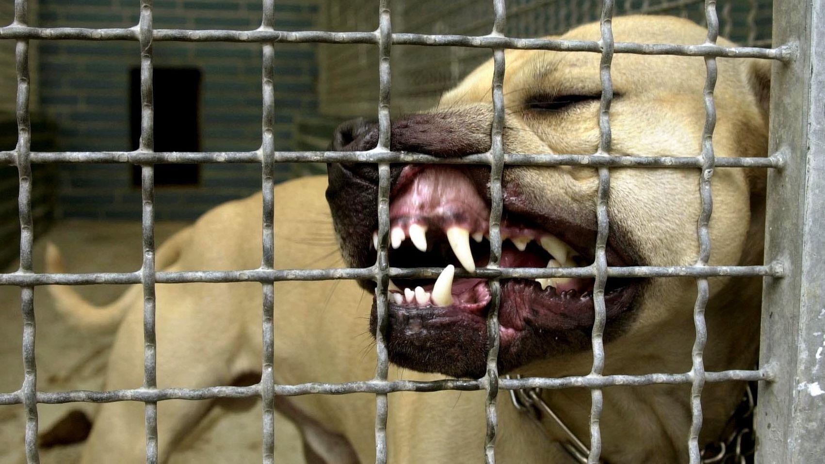 Ein Pitbullrüde versucht winselnd das Gitter im Tierheim durchzubeißen