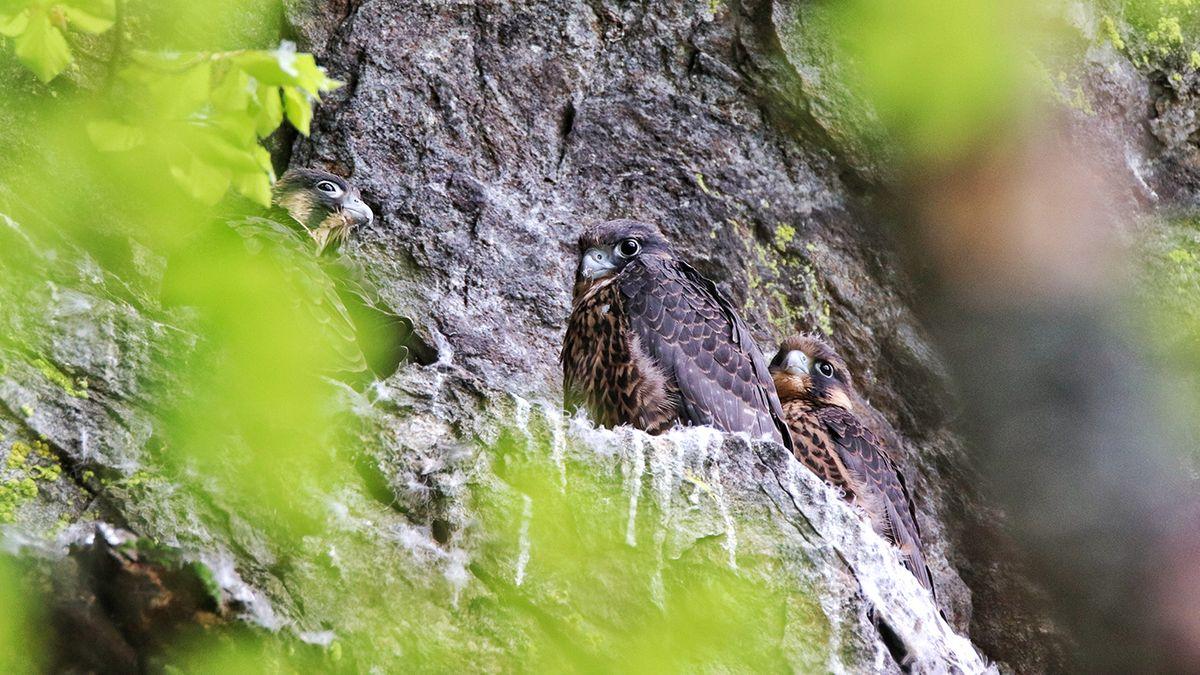 Drei junge Falken im Höllbachgespreng