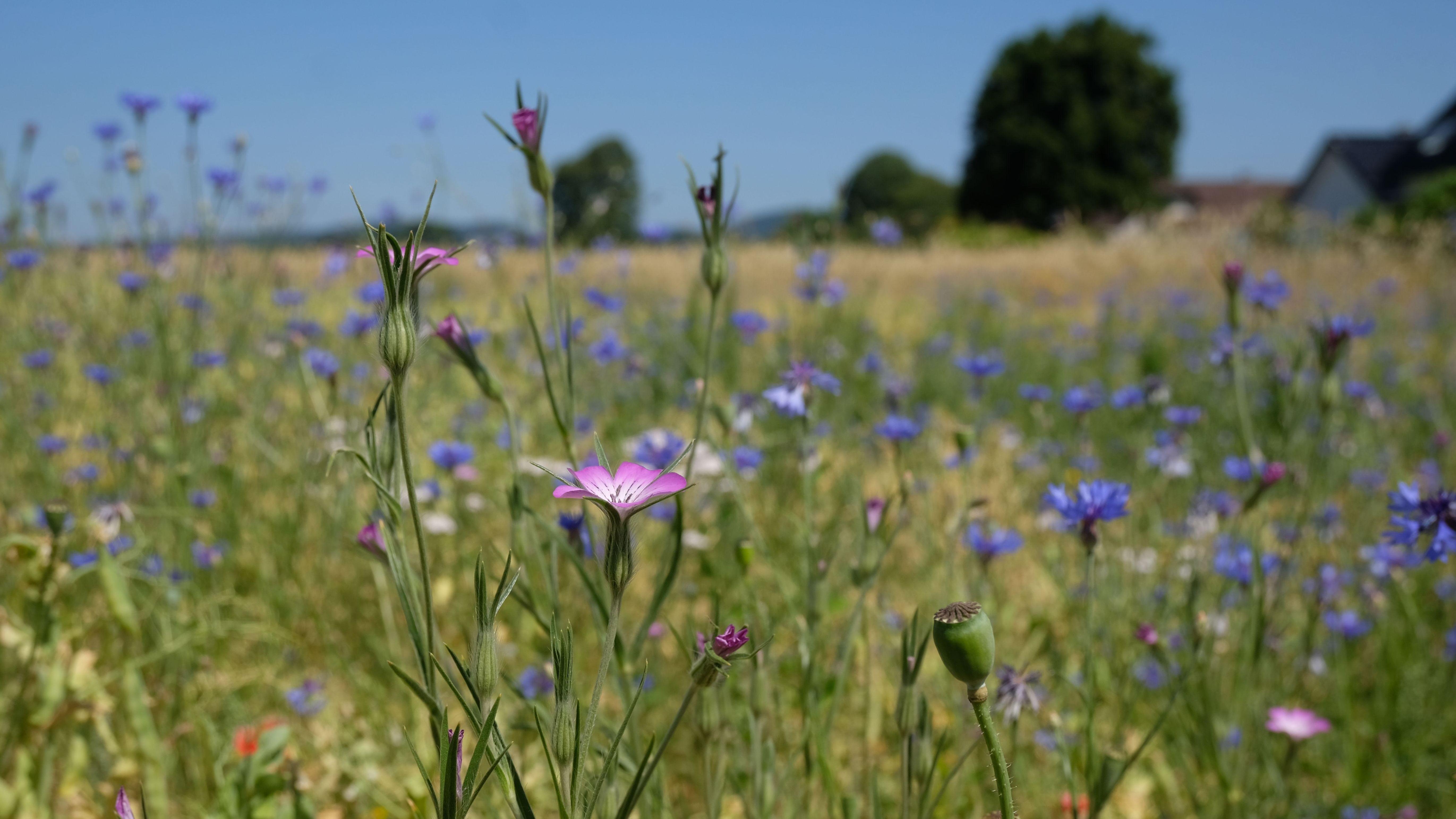 Auf einem Feld blühen Ackerwildkräuter.