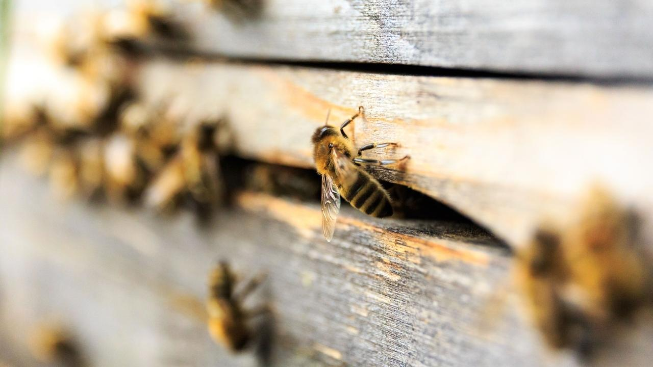 Bienen an einem Bienenstock