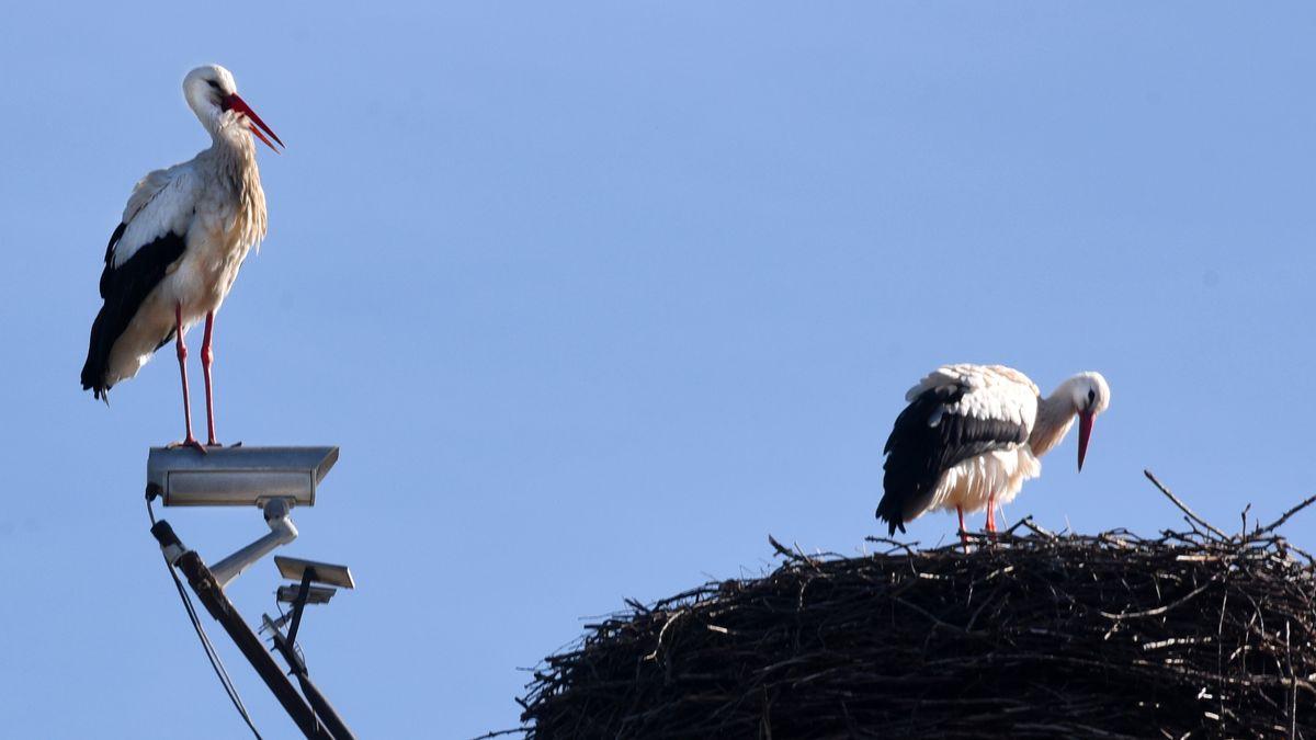 Unbeeindruckt von der Webcam neben ihrem Horst balzt ein Storchenpärchen in seinem Nest.