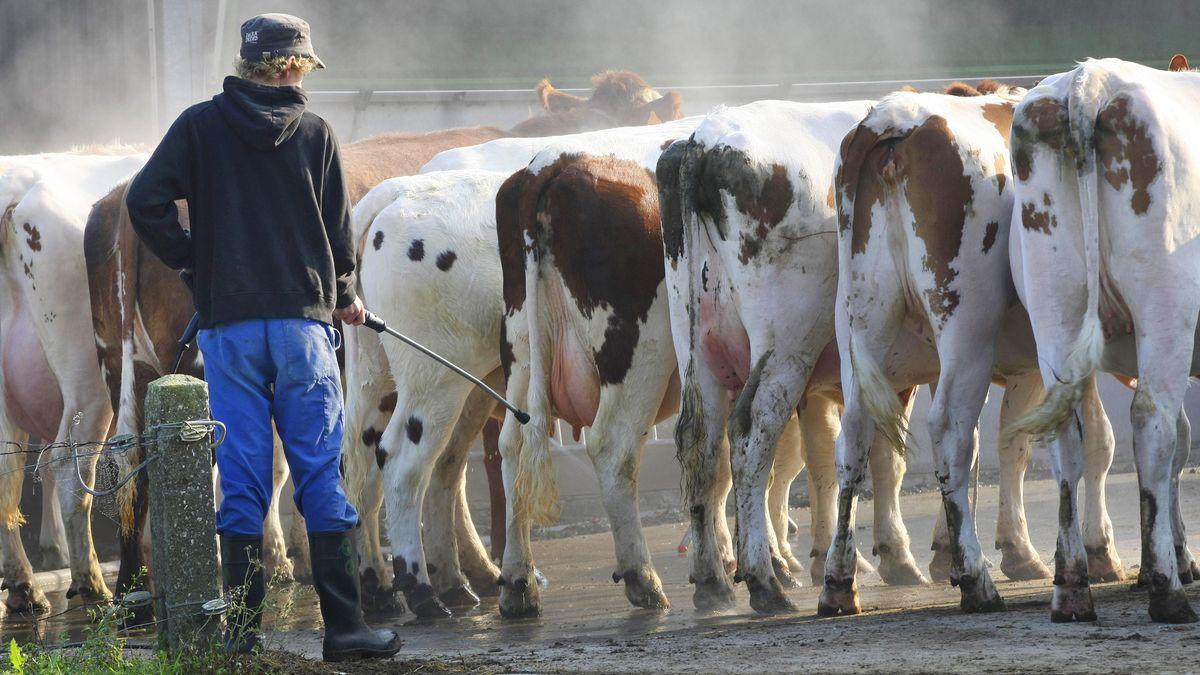 Symbolbild: Landwirt spritzt Kühe mit Wasserschlauch ab