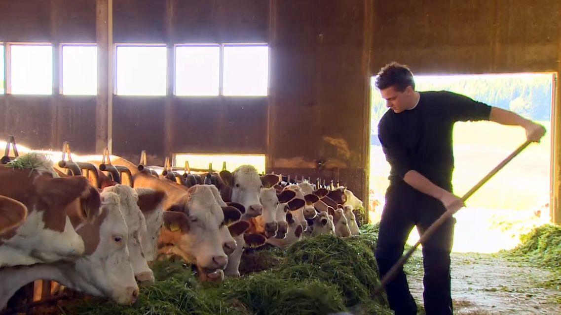 Ein Bauer füttert seine Kühe mit Gras.