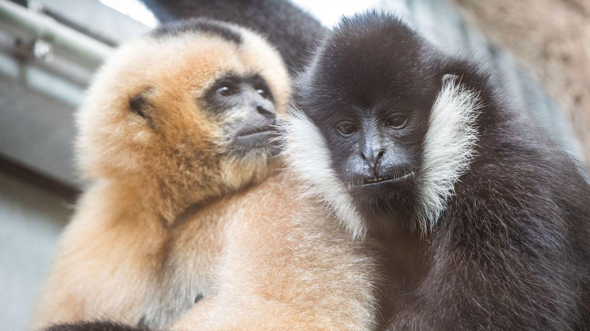 Weißwangen-Gibbons im Zoo in Frankfurt am Main