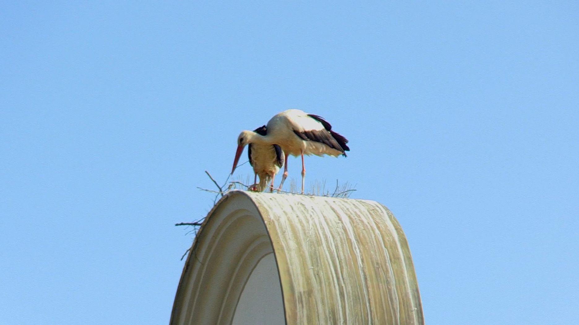 Storch sucht sein Nest in Ramspau