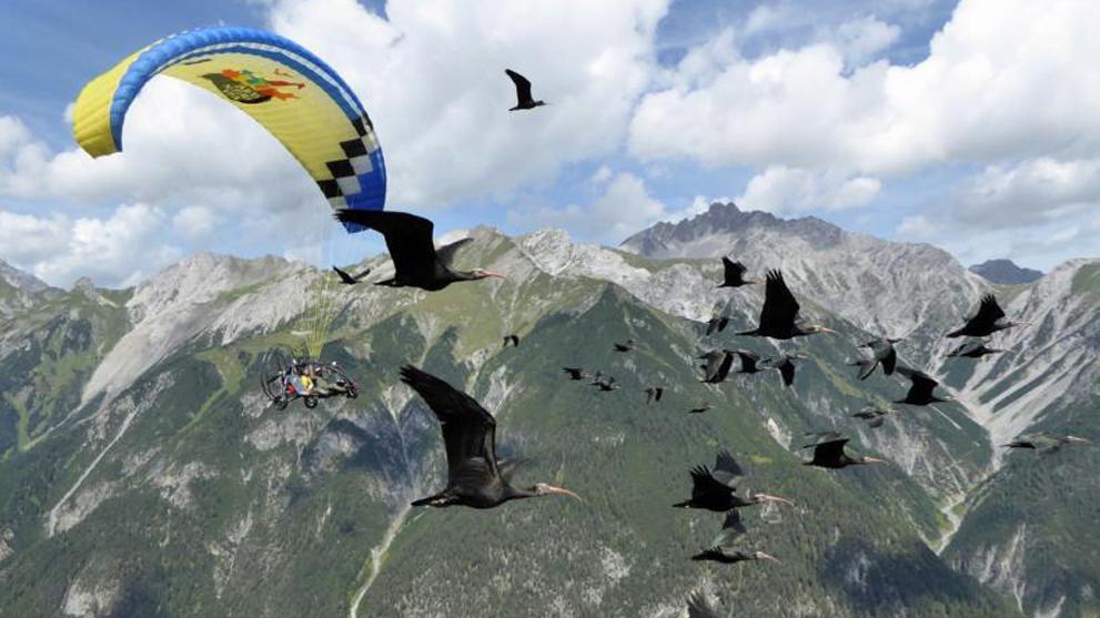 Waldrapp-Vogelzug mit Leichtflugzeug über die Alpen, 2017