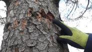 Durch Dürre geschädigter Baum | Bild:BR - Frank Breitenstein