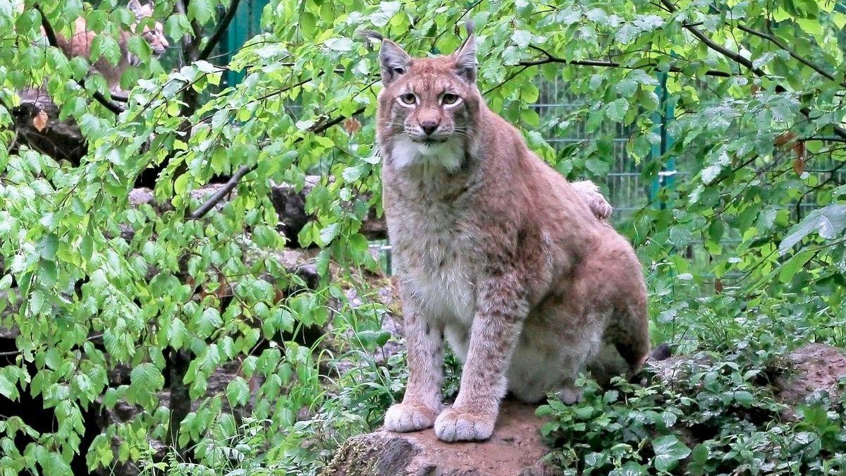 Rufus, der Luchs aus dem Wildpark an den Eichen in Schweinfurt
